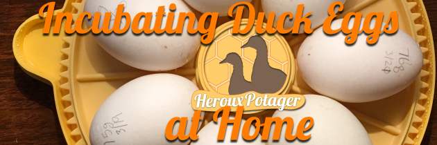 How To: Hatching Duck Eggs