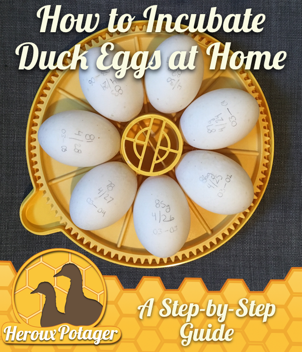 How to Incubate Duck Eggs