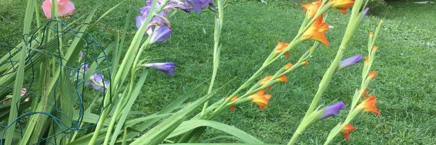 The gladiolus are floppy (and in bloom.)