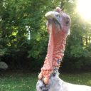 This turkey was not sure it wanted a photo taken.